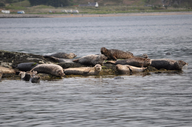Common seals hauled out in Kylerhea