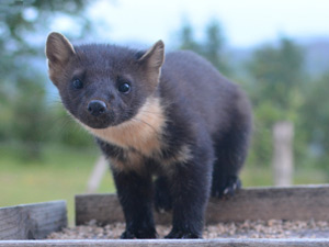 Pine martens visit the cottages regularly to feed from the patio tables