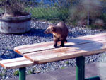 Pine marten on the patio table